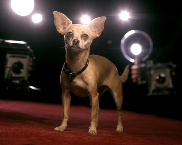 Gidget, Taco Bell Commercial Dog, Dies at 15