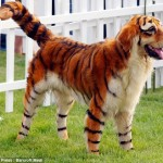 TigerDog?