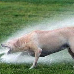 Dog Enjoys Sprinkler