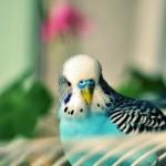 parakeet-bird-hd-wallpapers-free-download-best-desktop-background-images-of-parakeet-birds